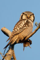 Northern hawk-owl