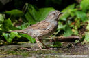 Hedge sparrow-Dunnock