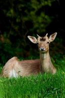 Roe Deer Hudnall's Forest