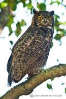 Great horned owl (IM)