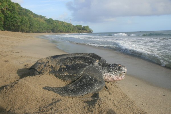 Leatherback Turtle, Grand Riviere, Trinidad