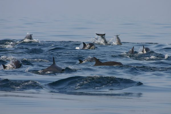Dolphins in the Arabian Sea near Muscat