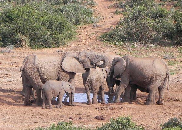 Elephants in Addo National Park
