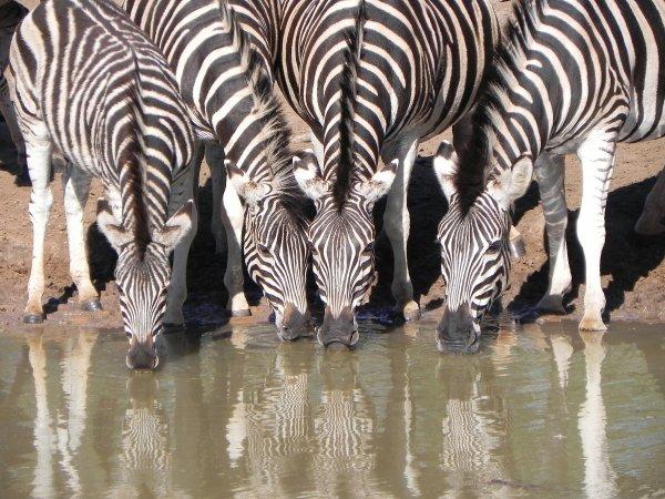Zebra in the Mkuze National Park