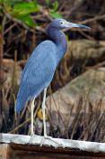 South American Blue Heron.