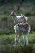 Fallow Deer at the Rut