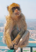 Young Female Barbary Ape