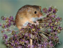 """Whiskers"", Harvest Mouse"