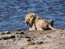 Thirsty Male Lion