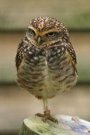 Burrowing Owl...