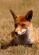 Fox..
