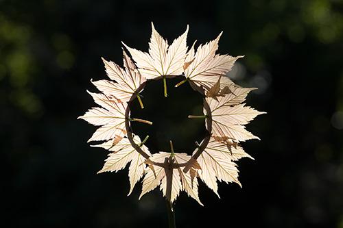 Maple Sun