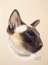 Coco - Chocolate Point Siamese