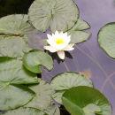 Lily - digital colour photograph