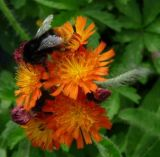 Bee on fox & cubs