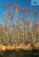 Birches and Blue Sky