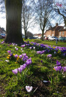 Crocuses at Burnham Market