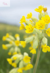 Cowslip, Norfolk