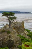 Lone Pine - Monterey