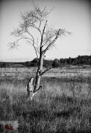 Tree at Dersingham Bog
