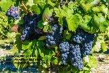 Castelmaure Vineyard Grapes