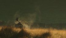 Fallow Deer at dawn