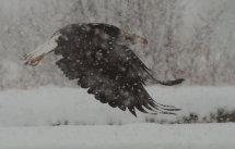 BNald Eagle