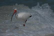 White Ibis in Surf