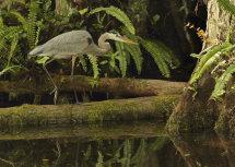 Great Blue Heron (Everglades)