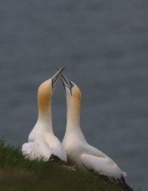 Gannets Mating