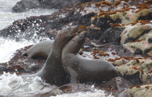 Fighting Male seal lions
