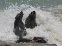 Seals in Surf