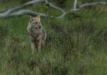 Coyote (Canada)