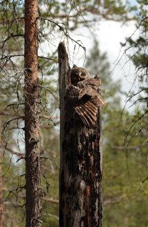 Great Grey Owl (Finland)