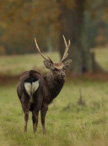 Sika Deer Stag