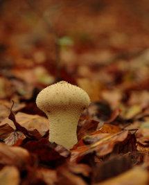 Mosaic Puffball (uncertain)
