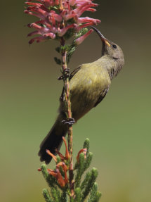 Unknown Female Sunbird