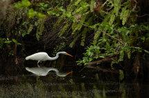 Greater Egret (Everglades)