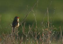 Sedge Warbler at dawn