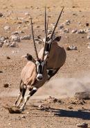 Oryx Chase