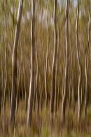 Silver Birch Wood 4, Tuscany