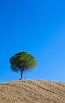 Solitary Tree, Tuscany
