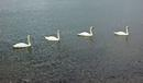 4 Swans in a row