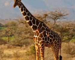 Giraffe, Kenya 0067