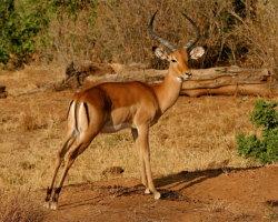 Impala, Kenya 0076