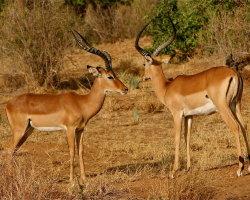 Impala, Kenya 0088