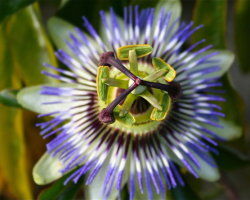 Passion Flower 0811