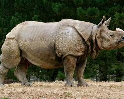 Posing Rhino 1534