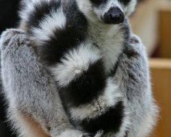 Ring-tailed Lemur 1562