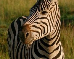 Smiling Zebra 1979